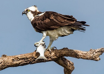 A large bird grasps a fish between his talons and the branch on which it is perched.