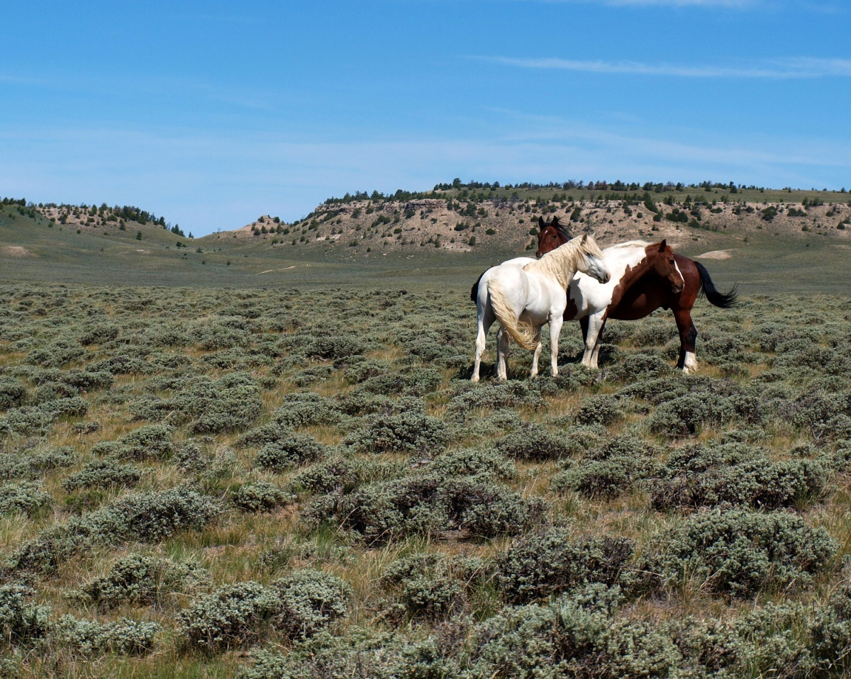 Three wild horses stand in a group.