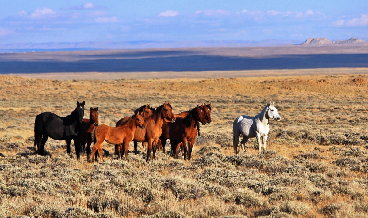 Group of wild horses in the Divide Basin HMA.