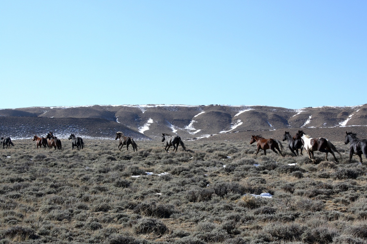 Wild horses in the Green Mountain HMA.