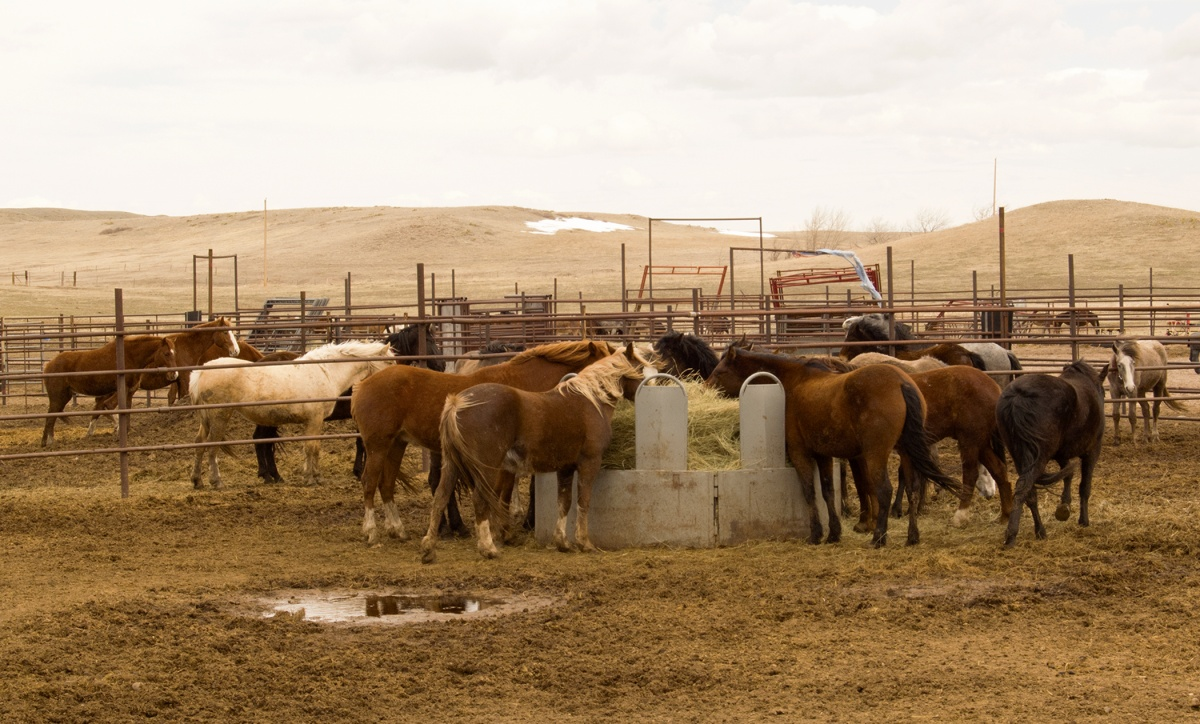 Wild horses eating hay inside the corrals.