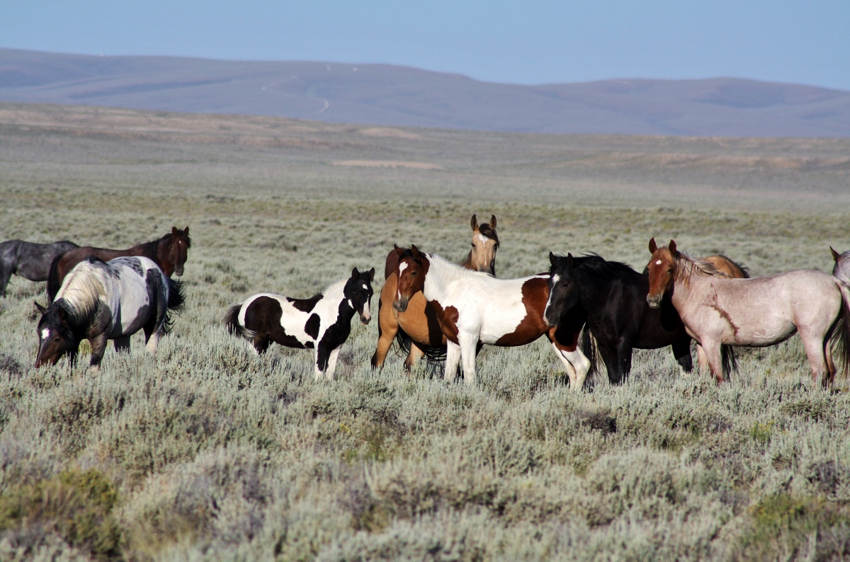 Group of wild horses standing in sagebrush.