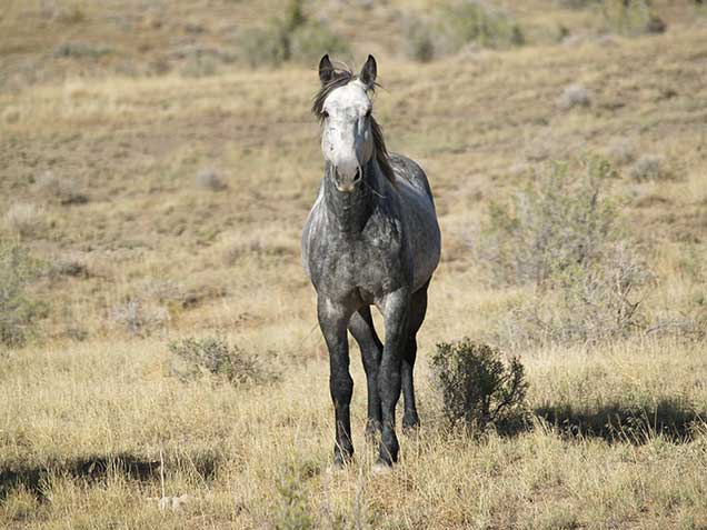 A gray horse in the Spring Creek Basin Herd Management Area.. BLM photo.