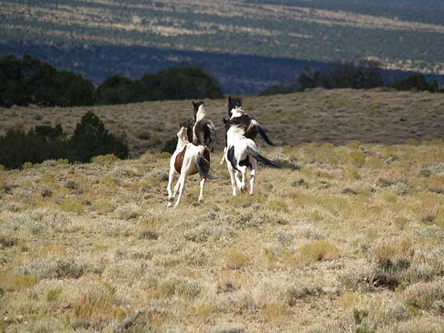 A band of wild horses in the Spring Creek Basin.  BLM Photo