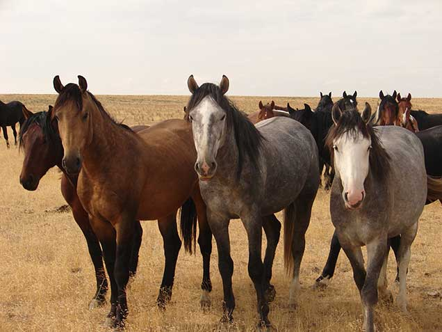 Wild horses from the Saylor Creek Herd Management Area. BLM photo.