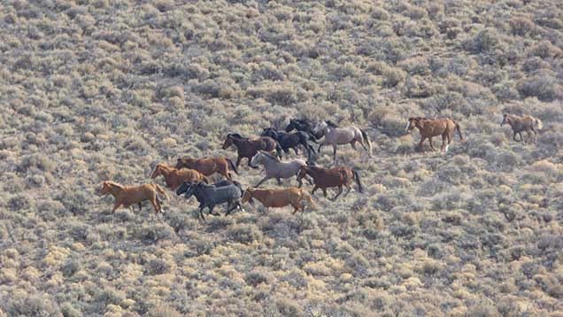 Horses from the Beatys Butte Herd on the Beatys Butte HMA.  Photo by Larisa Bogardus