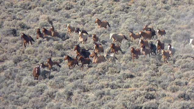 Horses from the SHHC herd on the range. BLM photo