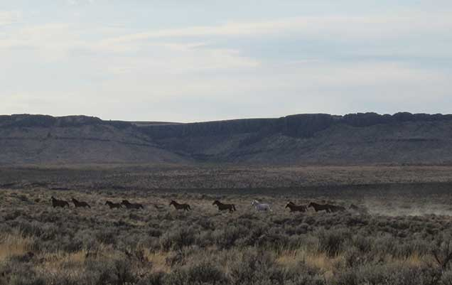 Horses from the Cold Springs Herd on the Cold Springs HMA.  BLM photo