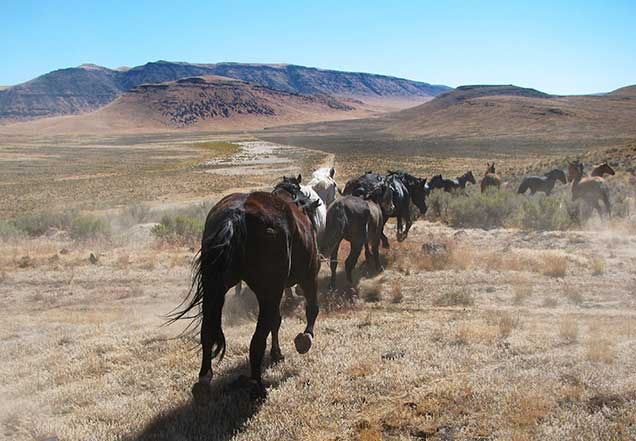 Horses from the CLAT HMA on the range. BLM Photo