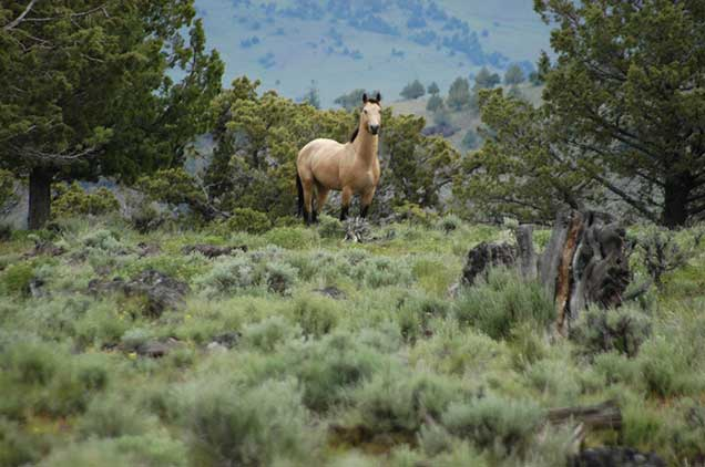 Horses from the Murderers Creek HMA on the range.  BLM photo.