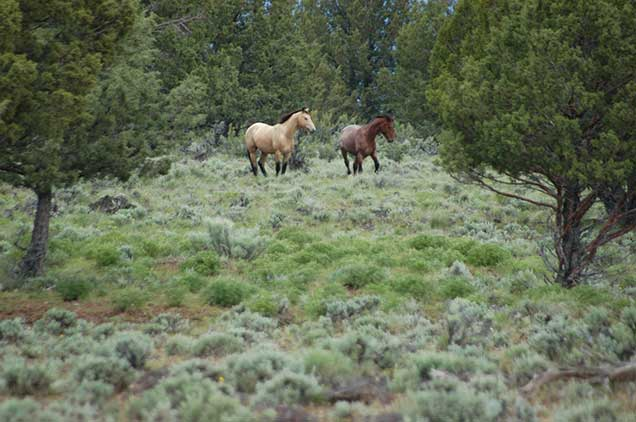 Horses from the Murderers Creek HMA on the range.  BLM Photo