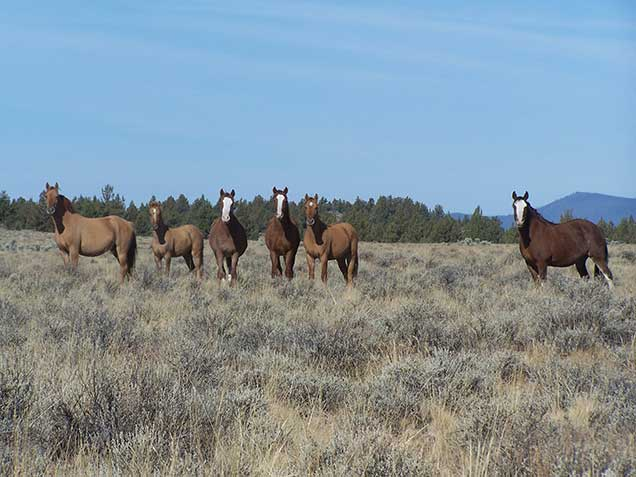 Horses from the Palomino Buttes HMA on the range.  BLM photo.