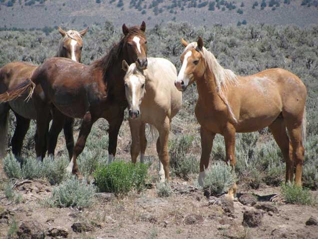 Horses from the Palomino Buttes HMA on the range.  BLM photo
