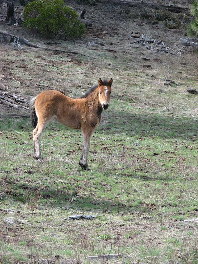Foal from the Pokegama herd on the range.  BLM Photo
