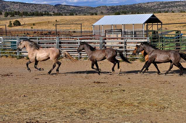 Horses from the Riddle Mountain herd while in holding at the Burns Wild Horse Corral.  BLM photo.