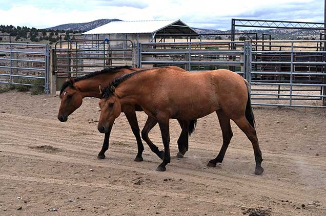 Horses from the Riddle Mountain herd while in holding at the Burns Wild Horse Corral.  BLM photo