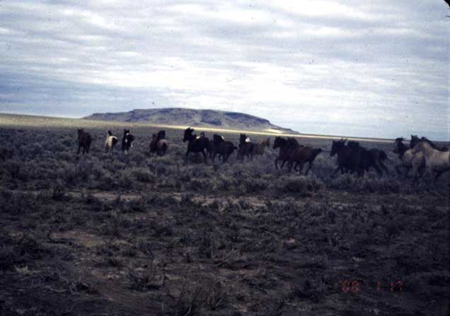 Sand Springs herd on the range.  BLM photo