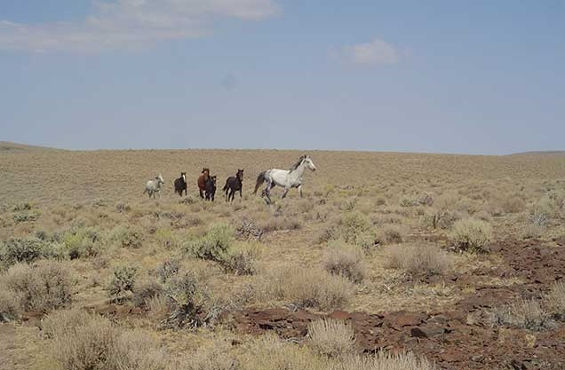 Horses from the SHHC herd on the range. BLM photo.