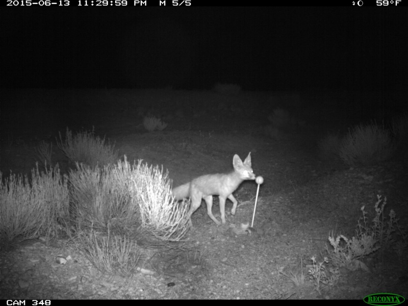 A kit fox sniffs the scented golf ball. Caught on a night-cam.