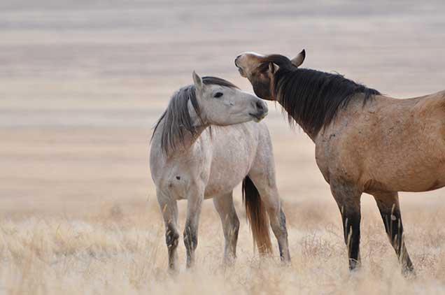 Great day spent on the Onaqui HMA with the horses that were released 02/20/12.  Photo by Lisa Reid.