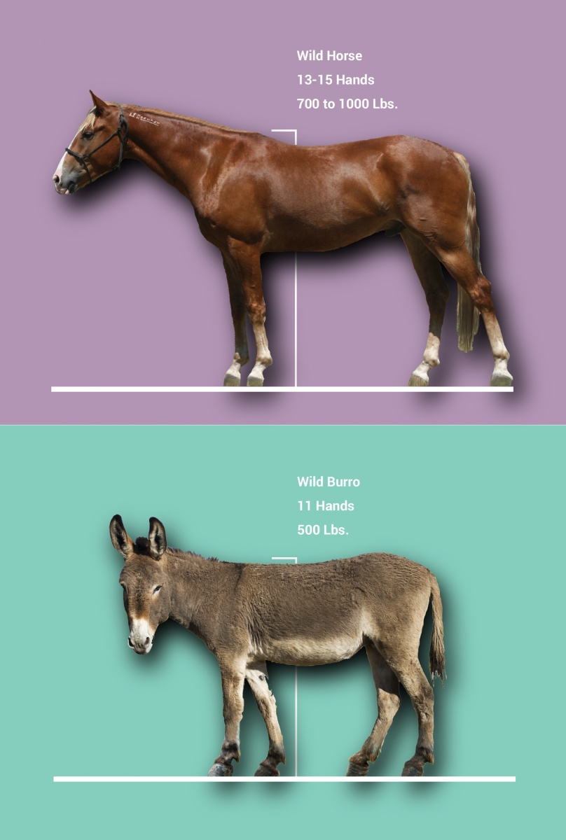 Horse and burro diagram showing height