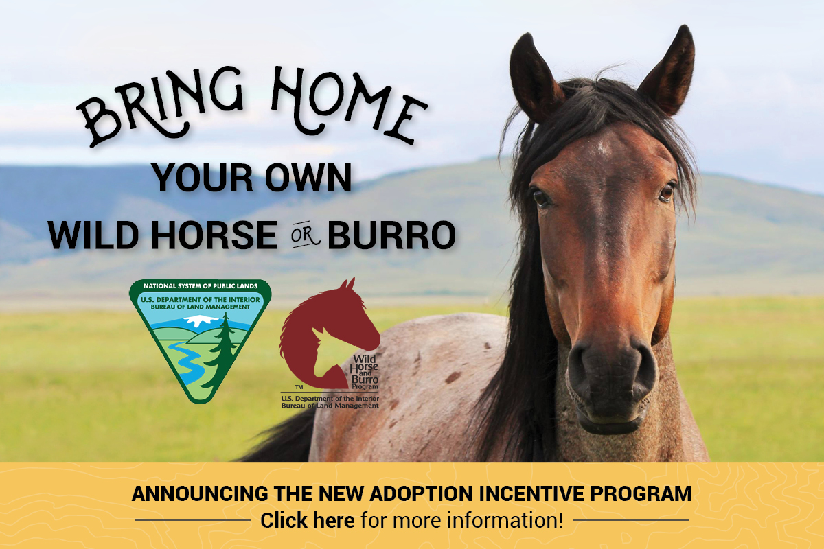 A wild horse facing the camera, with the words Bring Home your own wild horse or burro, announcing the new adoption incentive program, click here for more information.