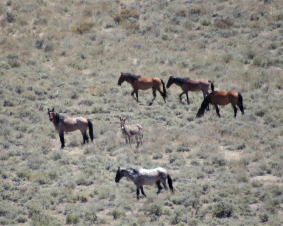 Wild Horses and a Burro roaming in the Shawave Mts HMA