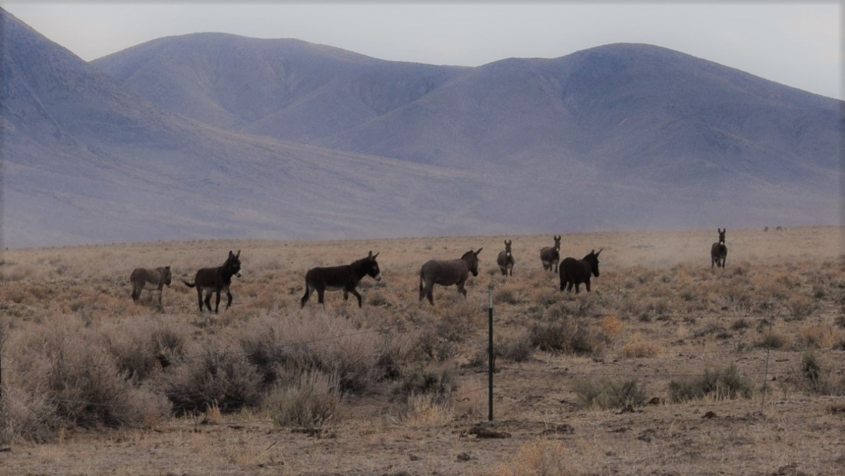 Picture of eight wild Burros in the dry desert of the Shawave Mts HMA taken in the Spring of 2020