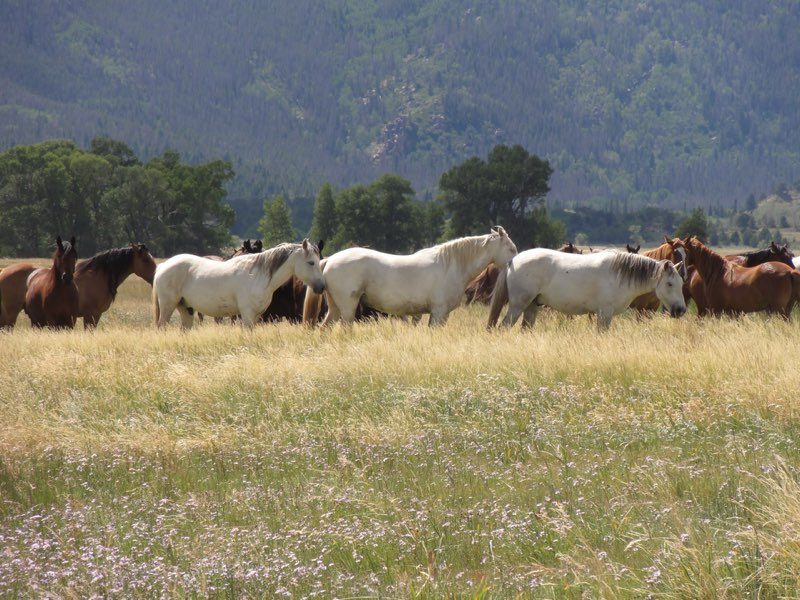 A string of horses in a field with trees in the background.